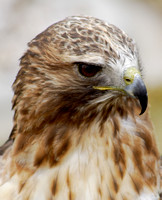 Alberta Birds of Prey, May 2009